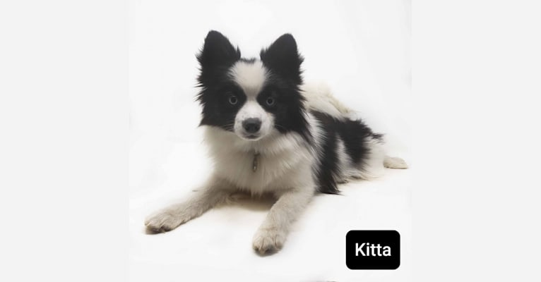 Photo of Kita, a Pomsky  in Perkins, OK, USA