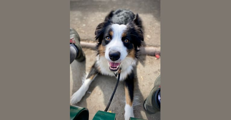 Photo of Atlas, an Australian Shepherd Group  in Ellensburg, WA, USA