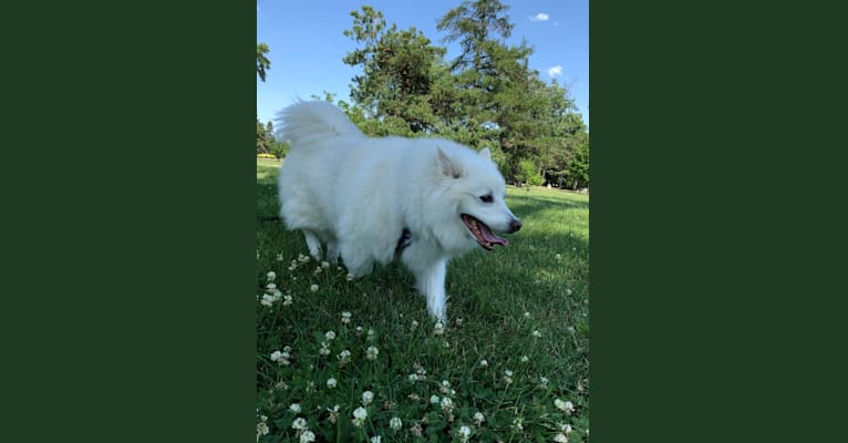 Photo of Zeus, an American Eskimo Dog  in Tully's Kennels, D Street, Omaha, NE, USA