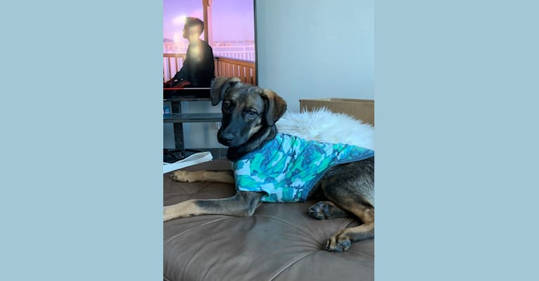 Photo of Reyla, a German Shepherd Dog, American Pit Bull Terrier, Boxer, Weimaraner, Labrador Retriever, and Mixed mix in Baja California Sur, Mexico