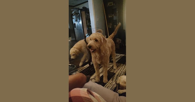 Photo of Milo, a Labradoodle  in Indiana, USA