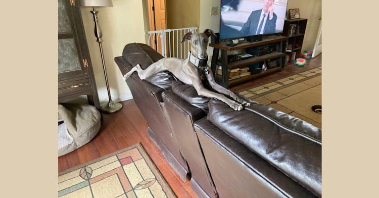 Photo of Luigi, an Italian Greyhound  in South Korea