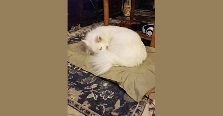 Photo of Ghost, an American Eskimo Dog mix in Madison, Wisconsin, USA