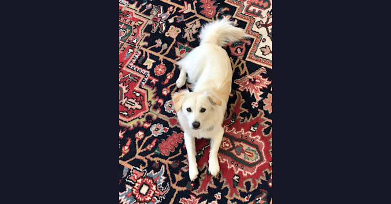 Photo of Vida, a Golden Retriever, Pekingese, American Eskimo Dog, Cocker Spaniel, Pomeranian, and Mixed mix in Incheon, Incheon, South Korea