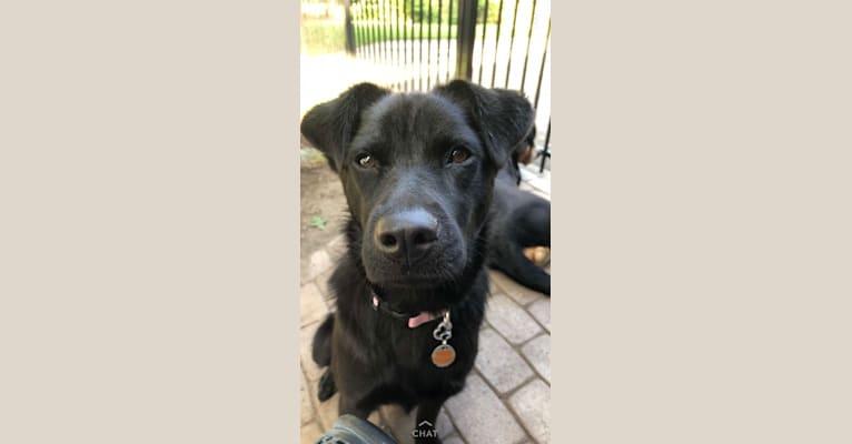 Photo of Rio, a Labrador Retriever, Chow Chow, Border Collie, Boxer, and Siberian Husky mix in San Antonio, Texas, USA