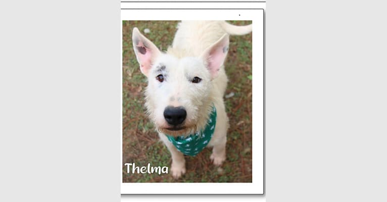 Photo of Thelma, a Bull Terrier, American Pit Bull Terrier, Labrador Retriever, and German Shepherd Dog mix in Mississippi, USA