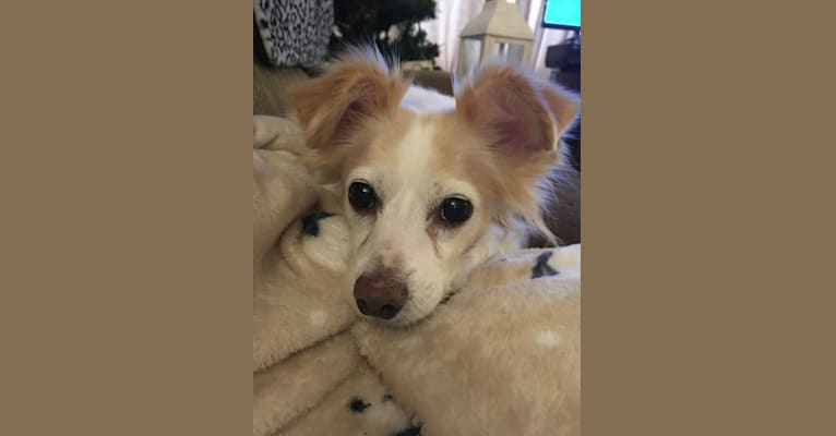 Photo of Annabelle, a Chihuahua, Pekingese, and Rat Terrier mix in Racine, Wisconsin, USA