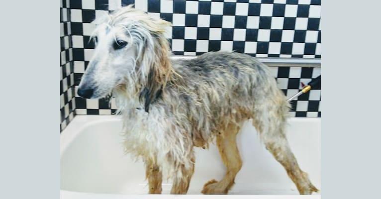 Photo of Daisy, an Afghan Hound