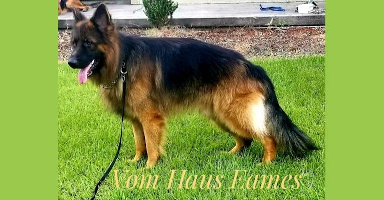 Photo of Nino, a German Shepherd Dog  in Magnolia, Texas, USA