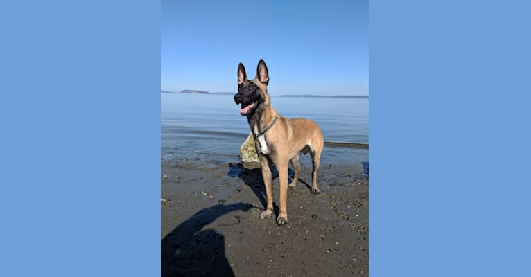 Photo of Mel, a Belgian Shepherd  in SeaTac, Washington, USA