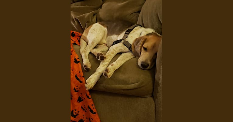 Photo of Snoopy, a Beagle and American Foxhound mix in Clermont, Florida, USA