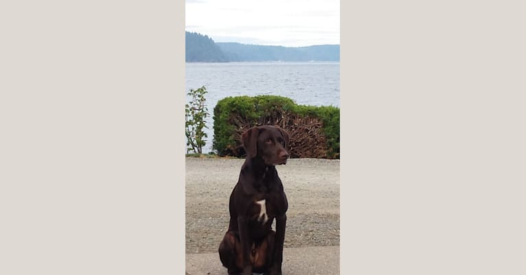 Photo of Buddy Brown, a German Shorthaired Pointer, Labrador Retriever, and Border Collie mix in Idaho, USA