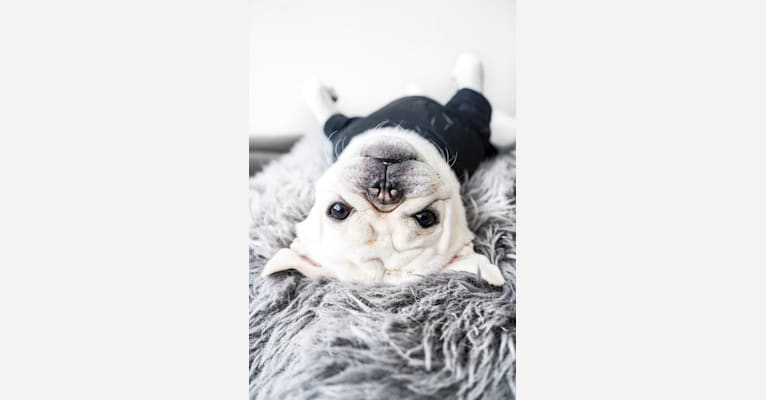 Photo of Po, a Pug  in Tulare, CA, USA