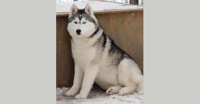 Photo of Birch, a Siberian Husky