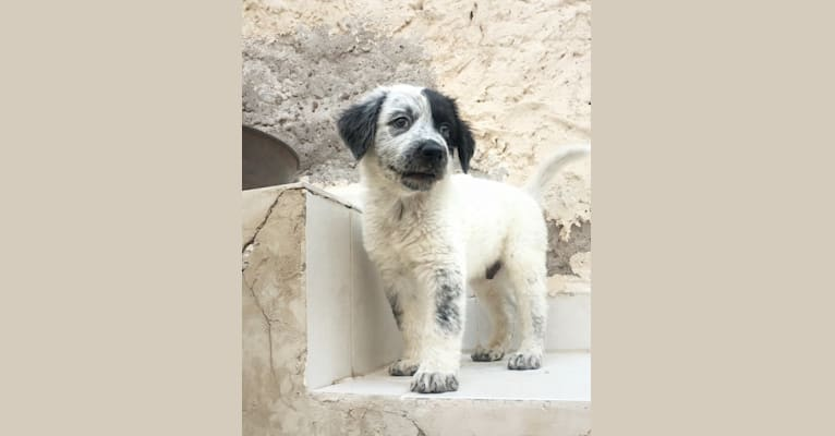Photo of Iggy, an American Pit Bull Terrier, German Shepherd Dog, Labrador Retriever, Boxer, and Mixed mix in Coahuila, Coahuila de Zaragoza, Mexico