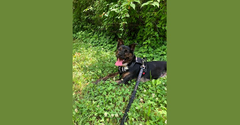 Photo of Lana, an Australian Cattle Dog, Labrador Retriever, Chow Chow, American Pit Bull Terrier, and Mixed mix in Murfreesboro, Tennessee, USA