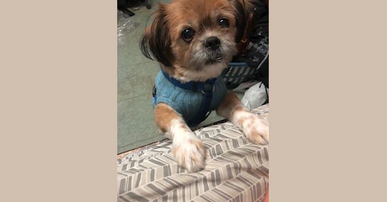 Photo of Chestnut, a Shih Tzu and Pomeranian mix in Tennessee, USA
