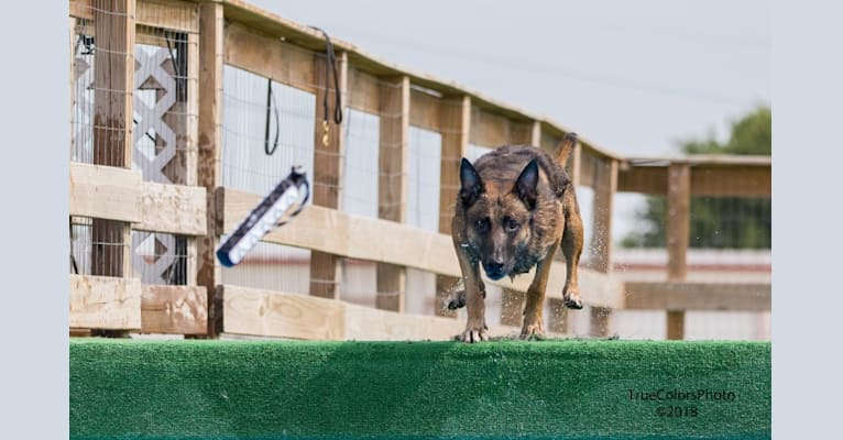 Photo of Magnum, a Belgian Shepherd  in Blossom, Texas, USA