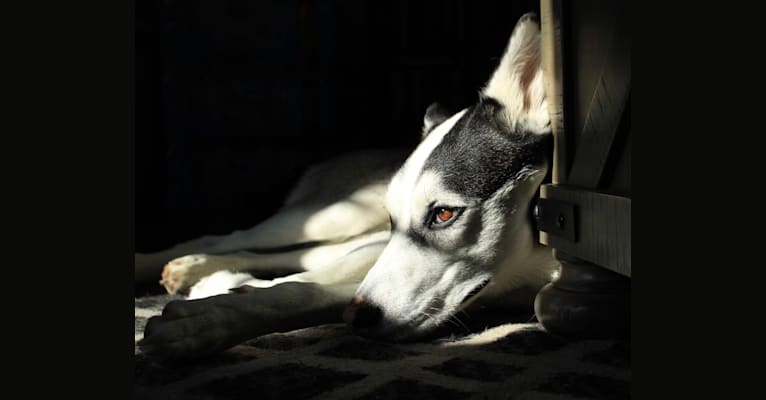 Photo of Anna, a Siberian Husky and American Pit Bull Terrier mix in Waco, Texas, USA