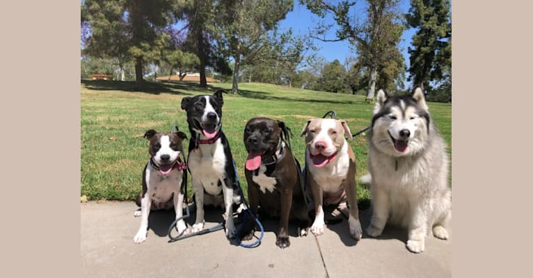 Photo of Emi, an American Pit Bull Terrier, American Staffordshire Terrier, Bulldog, and Mixed mix in Barstow, California, USA