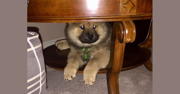 Photo of Satchmo, a Chow Chow  in Estacada, OR, USA