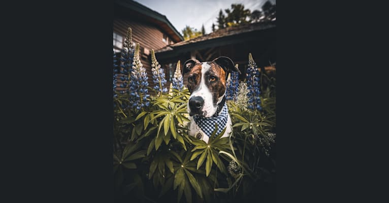 Photo of Jagger, an American Pit Bull Terrier, Bulldog, American Staffordshire Terrier, and Cane Corso mix in Alabama, USA