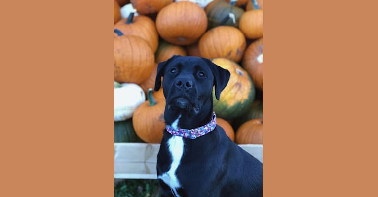 Photo of Octavia, a Boxer, American Pit Bull Terrier, and Labrador Retriever mix in Newfoundland and Labrador, Canada