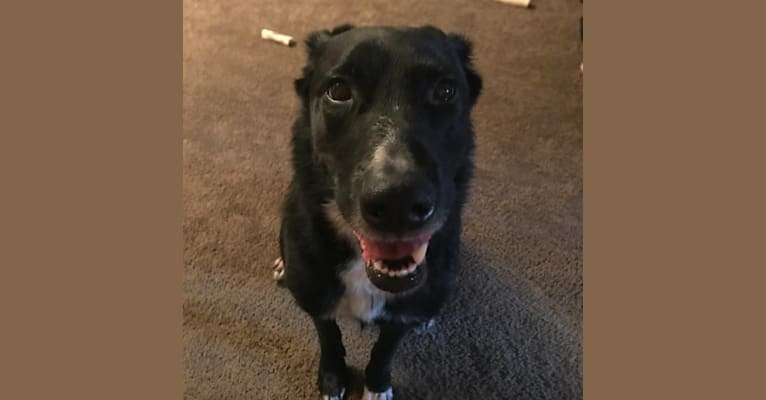 Photo of Ernie, a Rottweiler, American Eskimo Dog, German Shepherd Dog, and Mixed mix in Kent, Ohio, USA