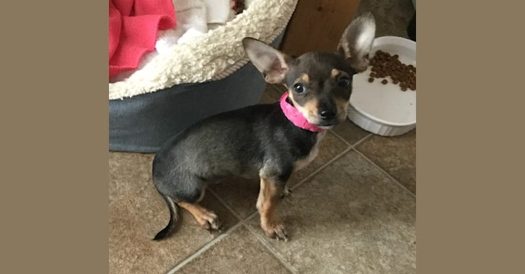 Photo of Murphy, a Chihuahua, Rat Terrier, Dachshund, and Mixed mix in Fresno, California, USA