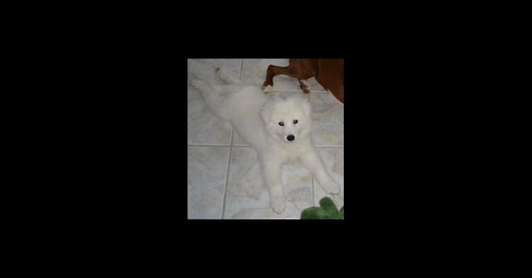 Photo of Dakota, a Samoyed  in Kansas City, MO, USA