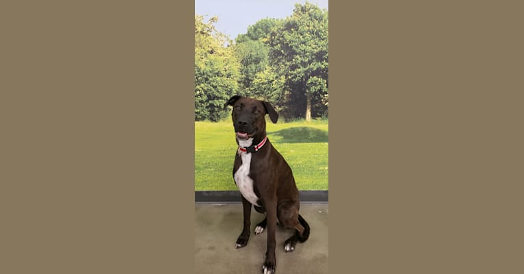 Photo of Carly, an American Pit Bull Terrier, Rottweiler, and American Staffordshire Terrier mix in Rustburg, Virginia, USA