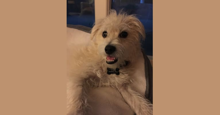 Photo of Finn, a Poodle (Small), Chihuahua, Maltese, and Mixed mix in San Gabriel, California, USA