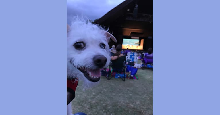 Photo of Coleen, a Rat Terrier and Poodle (Small) mix in Houston, Texas, USA