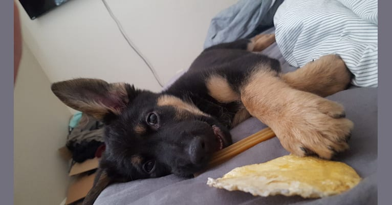 Photo of Tyson, a German Shepherd Dog, Golden Retriever, and Australian Shepherd mix in West Valley City, UT, USA