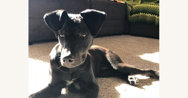 Photo of Roach, a Doberman Pinscher, American Pit Bull Terrier, and Mixed mix in Española, New Mexico, USA