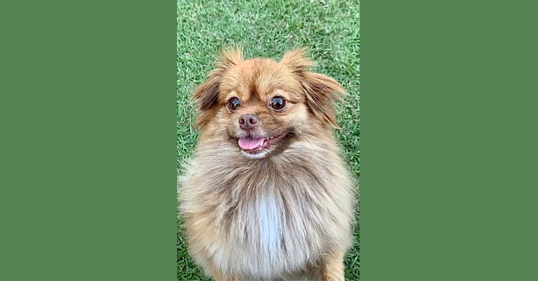 Photo of Sophie, a Pomeranian and Shih Tzu mix