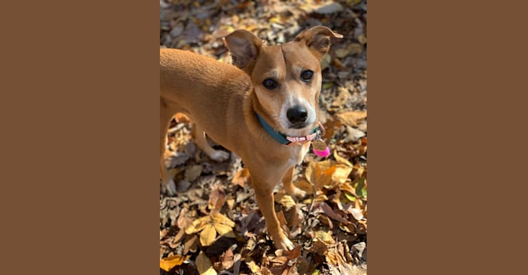 Photo of Basil, a Chihuahua, Australian Cattle Dog, Rat Terrier, and Chow Chow mix in Alabama, USA