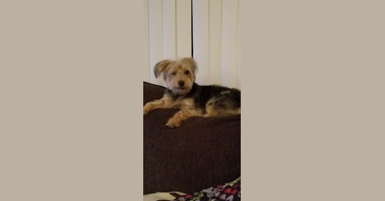 Photo of Roscoe, a Yorkshire Terrier, Maltese, and Dachshund mix in Corsicana, TX, USA