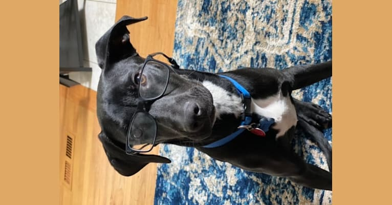 Photo of Coach, an American Pit Bull Terrier and Labrador Retriever mix in Mississippi, USA