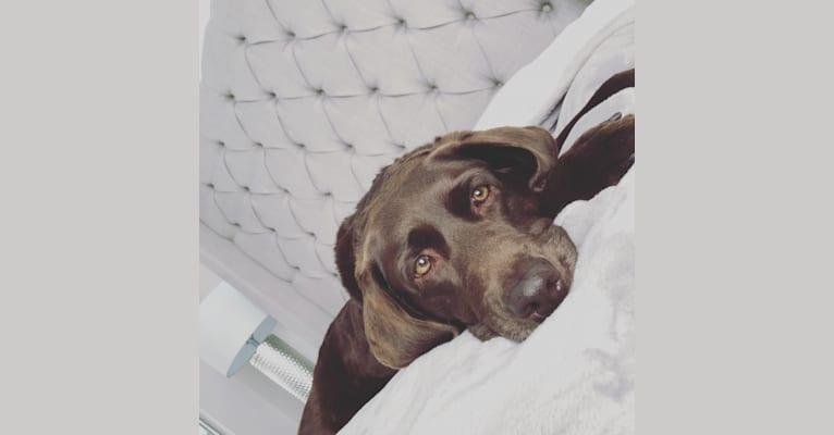 Photo of Bailey, a Labrador Retriever  in Torrance, California, USA