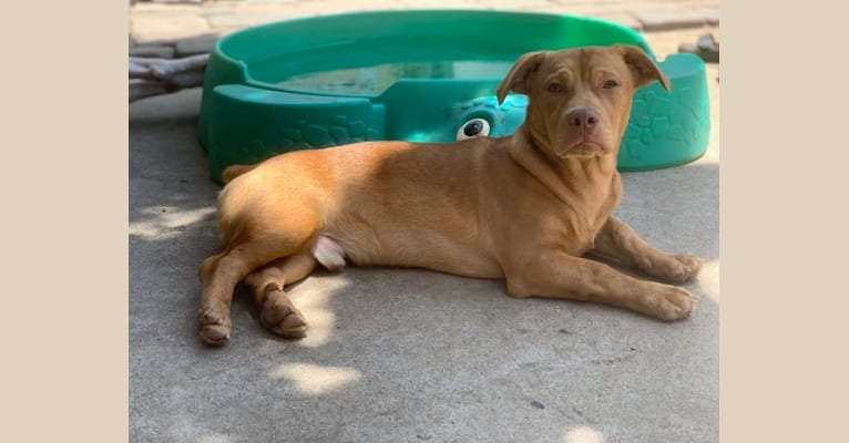 Photo of Prince, an American Pit Bull Terrier, Chihuahua, Chow Chow, and Mixed mix in Tijuana, Baja California, Mexico