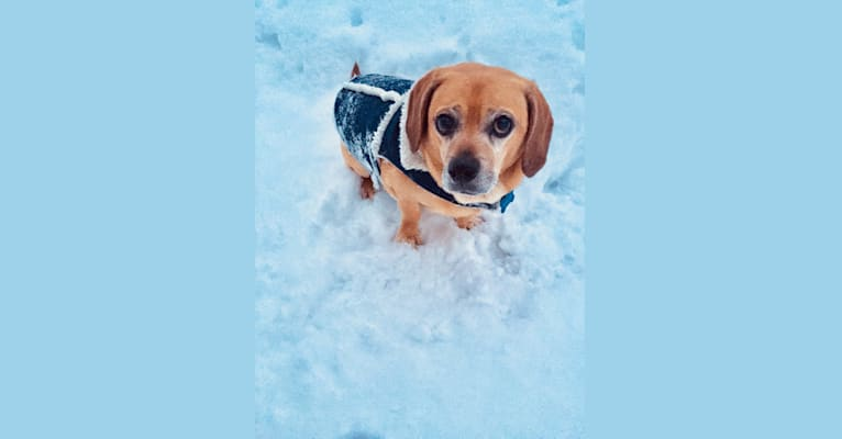 Photo of Milo, a Puggle  in Minneapolis, Minnesota, USA