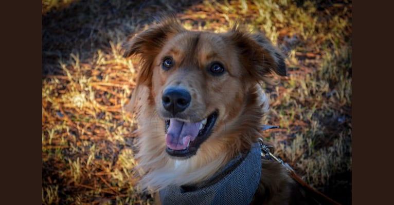 Photo of Kylo Ren, a Great Pyrenees, Labrador Retriever, and Mixed mix in Arkansas, USA