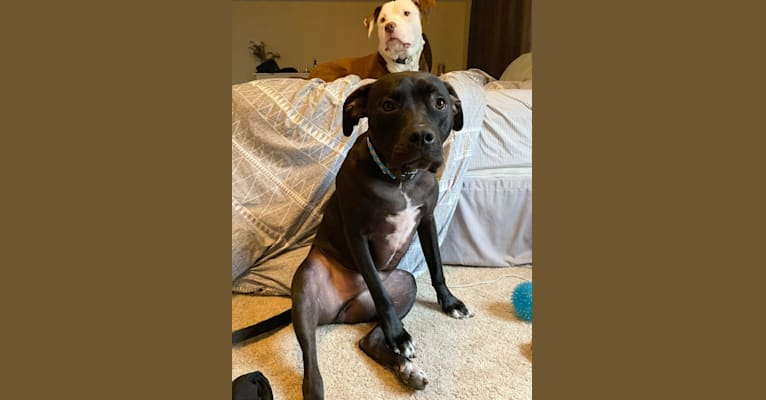 Photo of Lincoln, an American Pit Bull Terrier, American Staffordshire Terrier, Dogue de Bordeaux, and Neapolitan Mastiff mix in Michigan, USA