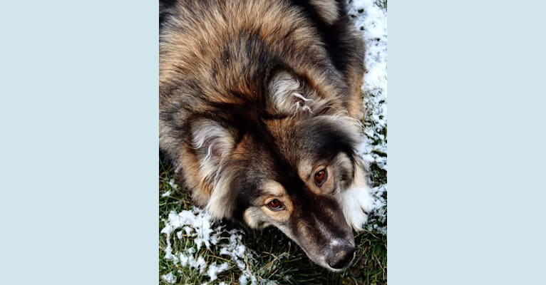 Photo of Link, a Siberian Husky  in Mountain Home, ID, USA