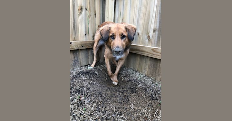 Photo of Sadie Mae, an American Pit Bull Terrier, Beagle, Labrador Retriever, Golden Retriever, and Mixed mix in Canton, GA, USA