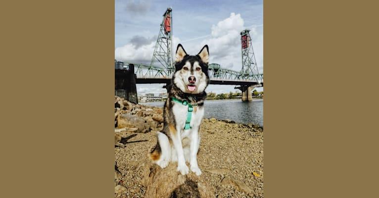 Photo of Max, a Siberian Husky, German Shepherd Dog, and Golden Retriever mix in Hawaii, USA