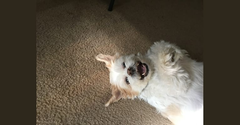 Photo of Bullet, a Lhasa Apso  in Florida, USA