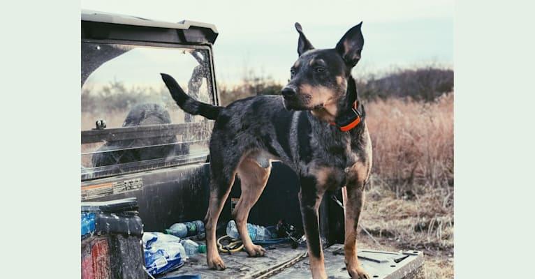 Photo of Rhett, a Catahoula Leopard Dog, Siberian Husky, and Australian Kelpie mix in West Virginia, USA