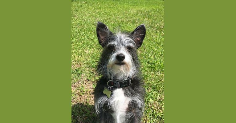 Photo of Crockett, a Chihuahua, Poodle (Small), and Mixed mix in Wilmington, North Carolina, USA